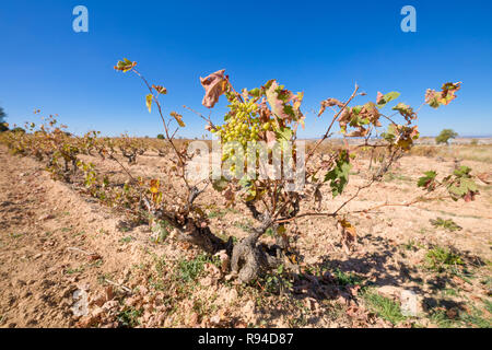 cluster of green wine grapes hanging in withered vine branch of vineyard, in winter or autumn season, in Castile, Spain, Europe - Stock Image