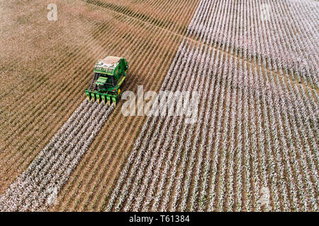 Endless cotton field with blossoming raw cotton plants harvested by combine tractor on the next patch of rows in elevated aerial view. - Stock Image