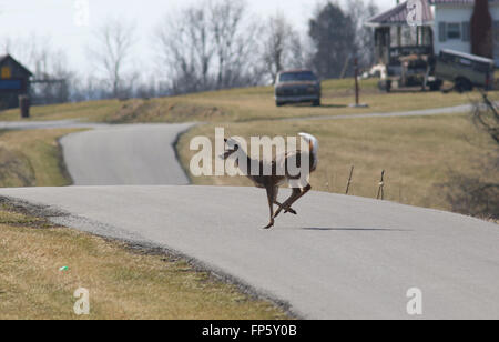 White tailed deer running across road Kentucky - Stock Image