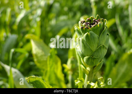 Farm field with green artichoke plants with one ripe flower head close up ready to new harvest in Greece - Stock Image