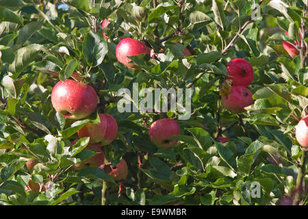 Red apples ripening in an orchard - Stock Image