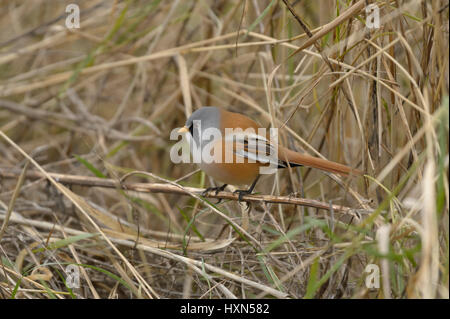 Bearded tit or bearded reedling (Panurus biarmicus) adult male feeding on seed at base of reedbed. Norfolk, England. - Stock Image
