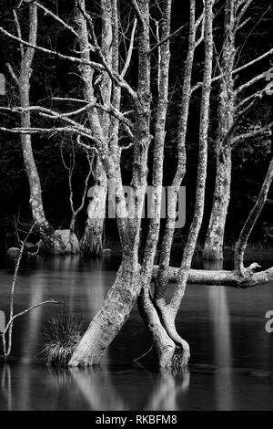 Tree branches in lake water - Stock Image