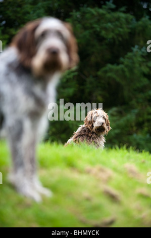 image of spinone italiano dogs looking at camera - Stock Image