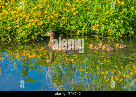 Mother Mallard duck swims with her young in creek in spring. Yellow buttercup wildflowers are on shore, Castle Rock Colorado US. Photo taken in June. - Stock Image