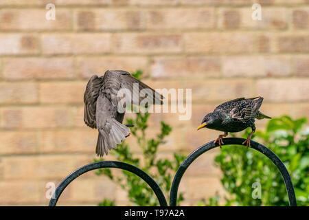 Juvenile starling (Sturnus coming into land on urban wildlife feeder - Stock Image