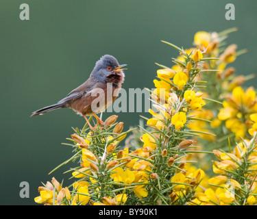 Dartford Warbler - New Forest - Stock Image