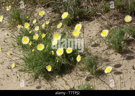 Spring wildflowers in the Mohave Desert ecosystem of Big Rock Creek Wildlife Sanctuary, California. Digital photograph - Stock Image