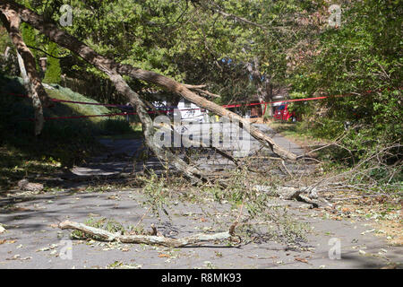 A mdead tree falls, shattering onto a narrow road completely blocking it with broken branches and scattered debris - Stock Image