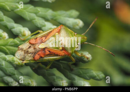 Juniper Shieldbug (Cyphostethus tristriatus) perched on leaves of Lawson's cypress tree. Tipperary, Ireland - Stock Image