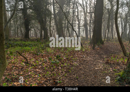 Mist clearing from A deciduous woodland, Herefordshire England UK. Faburary 2019 - Stock Image