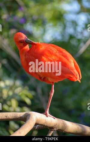 Scarlet Ibis (Eudocimus ruber) sitting on a branch - Stock Image