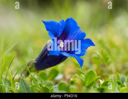 Alpine Gentian (Gentiana alpina) - Stock Image