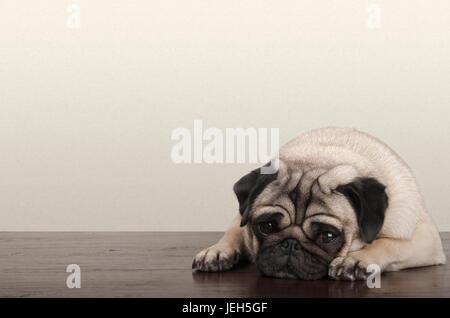 cute little pitiful sad pug puppy dog, lying down on wooden floor - Stock Image