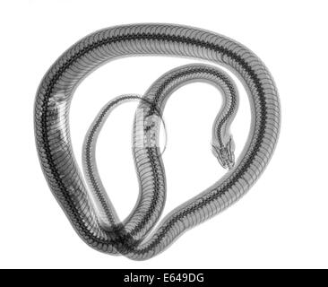 Snake under x-ray a whole mouse can be seen being digested on the left - Stock Image