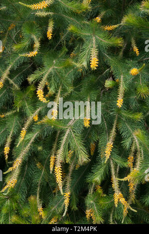 Pine-leafed Geebung, Persoonia pinitolia,  at the Australian Garden, Royal Botanic Garden, Cranbourne, Victoria, Australia - Stock Image