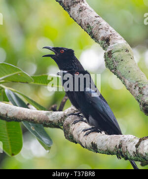 A pair of Spangled Drongos (Dicrurus bracteatus) on a perch, one with open beak, Queensland, QLD, FNQ, Australia - Stock Image
