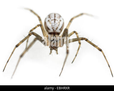 A female Common Hammock-weaver (Linyphia triangularis) spider on a white background, part of the family Linyphiidae - Stock Image