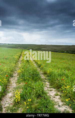 Colourful wildflowers growing in a field at the Arable Fields Project on West Pentire in Newquay in Cornwall. - Stock Image