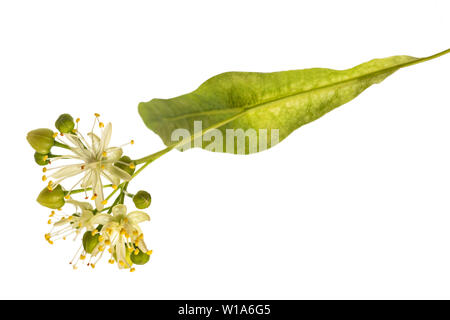 linden  bract and flowers isolated on white background - Stock Image