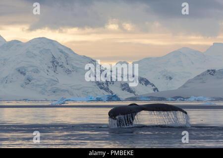 Humpback Whale in Wilhelmina Bay, Antarctica. - Stock Image