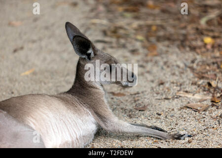 Close-up of a young Kangaroo, at Hartley's Crocodile Adventures wildlife sanctuary, Captain Cook Highway, Wangetti, Queensland, Australia. - Stock Image