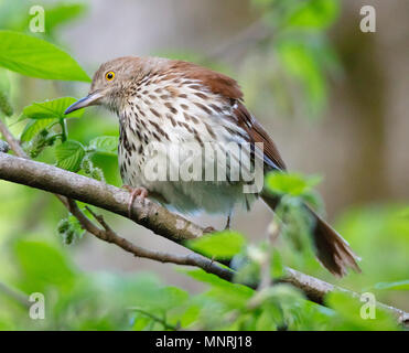 A beautiful Brown Thrasher (Toxostoma rufum) fluffs up his feathers on a spring morning - Stock Image