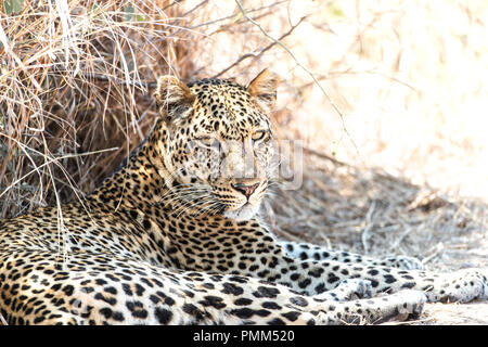 Solitary female leopard relaxes beside a road, South Luangwa, Zambia - Stock Image