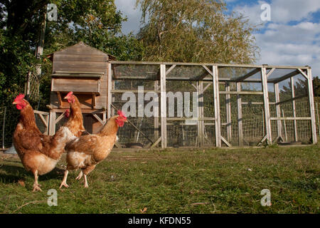 three free range domestic chickens in home run - Stock Image