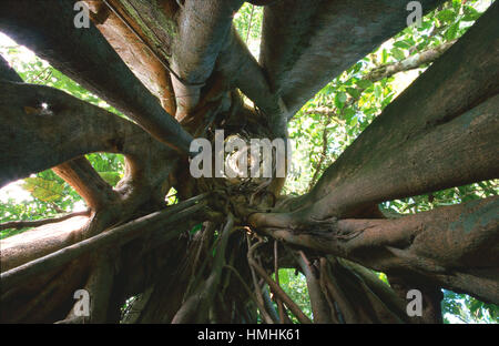 View upwards inside strangler fig (Ficus sp.) where host tree used to stand (now died rotted away). Lowland rainforest, - Stock Image