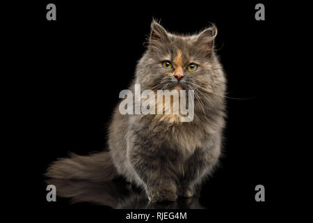 Cute Munchkin Cat tortoise fur, Sitting and Curious Looking in camera Isolated Black background, front view - Stock Image