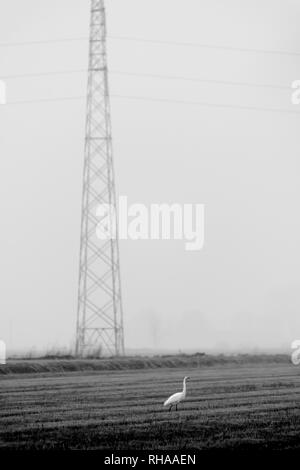 Heron bird standing in a paddy field close to an overhead power line - Stock Image