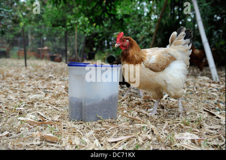 French Maran hen looking at container of cat food biscuits - Stock Image
