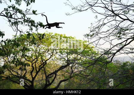 Mantled howler monkey (Alouatta palliata) jumping between trees. Tropical dry forest. Palo Verde National Park, - Stock Image