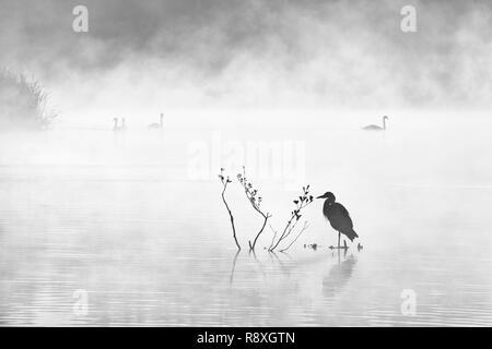 Atmospheric black and white image of birdlife on a misty lake at dawn - Stock Image