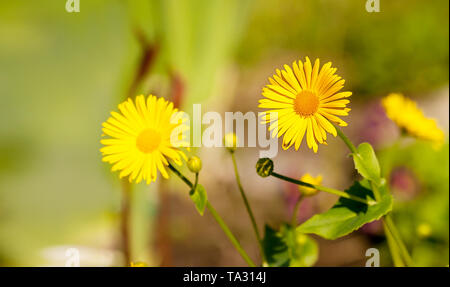 bright yellow calendula flowers in the garden on sunny summer day closeup - Stock Image