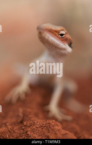 Close up curious gecko - Stock Image