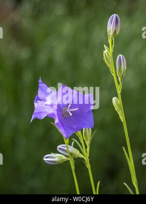Platycodon, balloon flower or Chinese bellflower - Stock Image