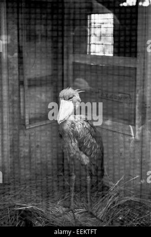 A Shoebill in a cage in Ueno Zoo, Tokyo, Japan - Stock Image