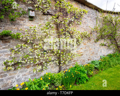 An apple tree espalier in blossom on a stone wall at in a walled garden in Eggleston Durham England - Stock Image