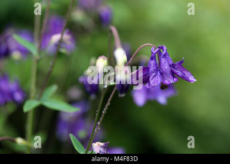 Columbine - Stock Image