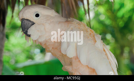 White cockatoo parrot sitting on a branch - Stock Image