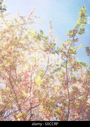 Lovely, light pink sakura or cherry blossoms with green leaves and soft blue sky in the background, with painterly - Stock Image