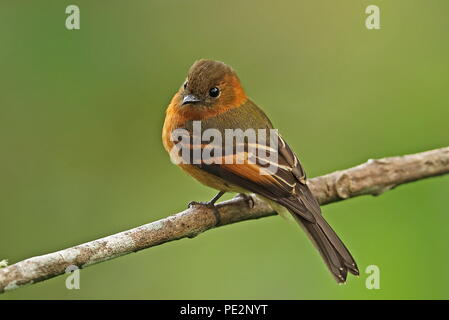 Cinnamon Flycatcher (Pyrrhomyias cinnamomeus pyrrhopterus) adult perched on branch  Bellavista Cloud Forest Reserve, Ecuador             February - Stock Image