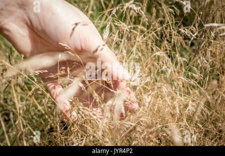 Adult female hand touching long meadow grass seed heads - Stock Image