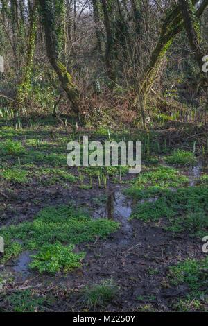Swampy ground in Early spring in Cornwall. Plants include Yellow Iris, Hemlock Water-Dropwort and Opposite-Leaved - Stock Image