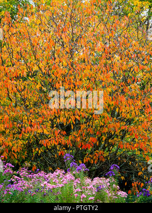 Vivid orange autumn colour in the foliage of the Japanese flowering cherry, Prunus 'Okame' above a carpet of asters - Stock Image