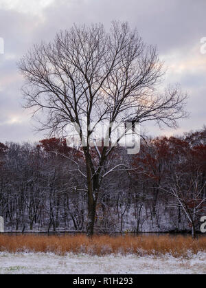 Tree with bald eagle nest on a winter morning along the Iowa River. - Stock Image