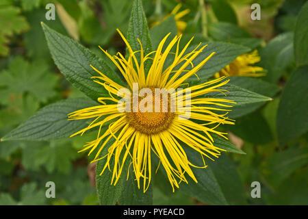 Close up of the flowering Inula royleana Elecampane - Stock Image