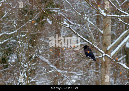 A black crow in a snowy forest perched on a tree branch in winter - Stock Image